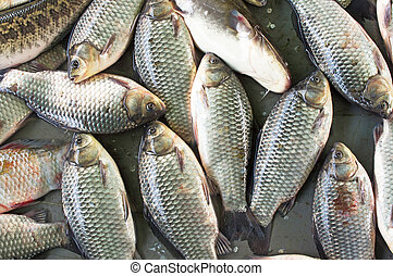 crucian - Close-up of many fresh carp.