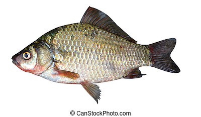 crucian fish - crucian carp fish isolated on a white...