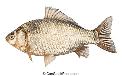 Crucian fish isolated on a white background. Clipping Path