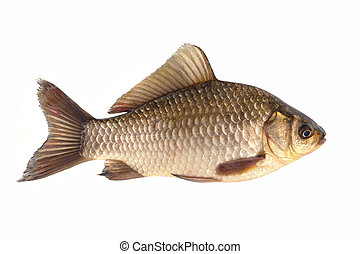 Crucian isolated on white background...