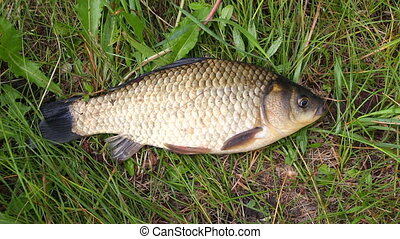 Crucian on a green grass
