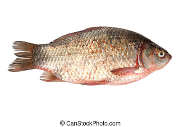 crucian on a white background