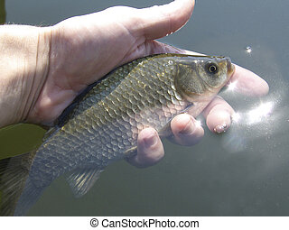 Crucian, River fish on a hand