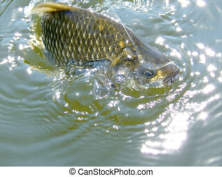 Crucian. River fish on a hook
