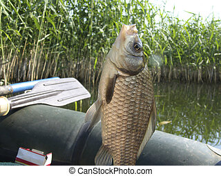 Crucian, river fish on a hook
