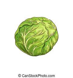 crudo, cavolo, isolato, cibo, verde, testa, verdura