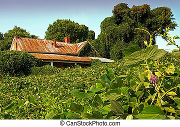 Crumbling house swallowed by kudzu near sunset