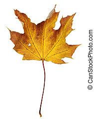 Crumpled Orange Maple Leaf