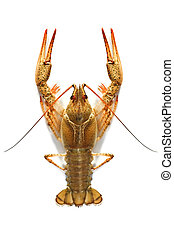 crustacean animal isolated on white