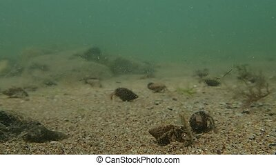 Crustaceans invasion - Many crustaceans in the sea