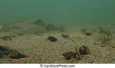 Crustaceans invasion - Many crustaceans in the sea