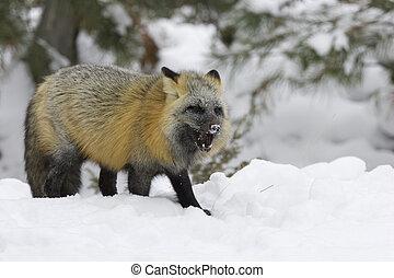 cruzar el zorro