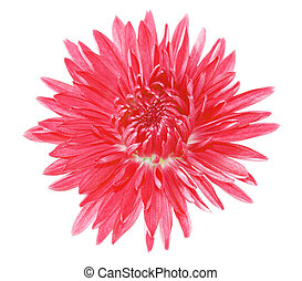crysantheme, ledig, rotes