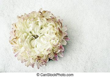 crysantheme, weiße blume, schnee