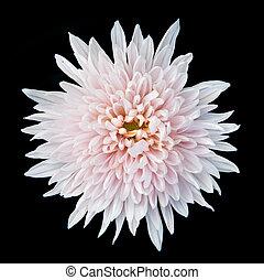 crysantheme, weißes, schwarz, freigestellt