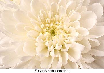 crysantheme, weißes