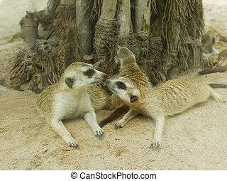 csókol,  Meerkat, először