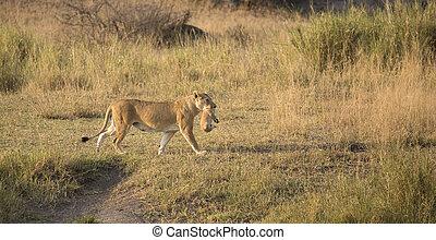csecsemő, nőstény oroszlán