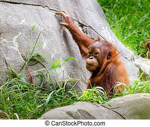csecsemő, portré, orangutan