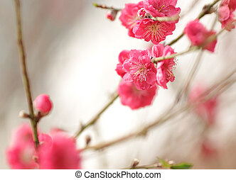 cseresznye, új, kivirul, kínai, év