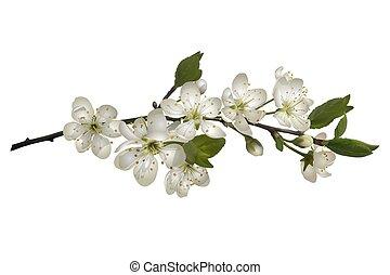 cseresznye, flowers., virágzás, fehér, elágazik