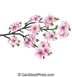 cseresznye virágzik, fa, sakura, japán