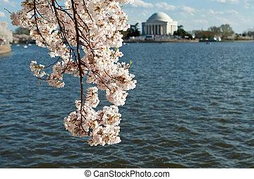 cseresznye, washington dc dc, jefferson, kivirul, emlékmű
