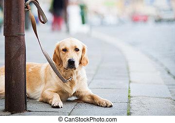 csinos, övé, város, kutya, várakozás, utca, fiatalúr, türelmesen