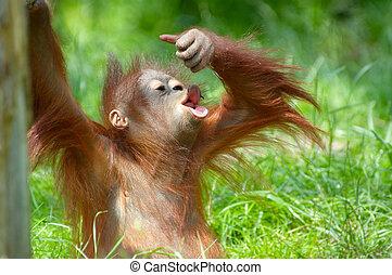 csinos, csecsemő orangutan