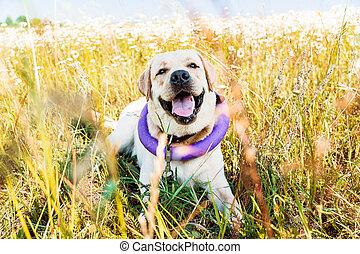 csinos, kaszáló, kutya, nevető, fekvő, labrador