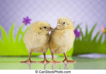 csirke, húsvét, fiatal, háttér