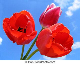 csokor, közül, tulipánok