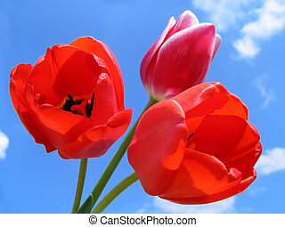 csokor, tulipánok
