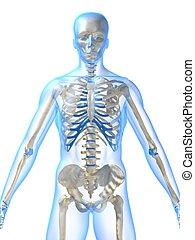 csontváz, emberi