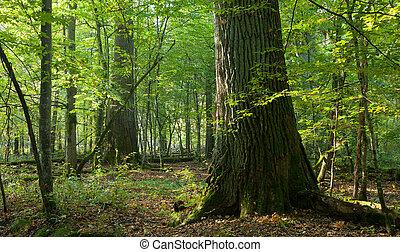 csoport, óriási, természetes, erdő, tölgy