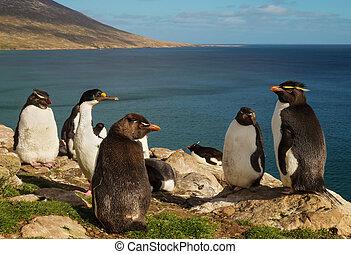 csoport, közül, déli, rockhopper, pingvin, álló, anyagi csőd
