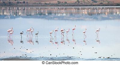 csoport, közül, flamingó, madarak, gyalogló, alatt, egy, tó