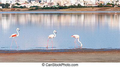 csoport, közül, flamingó, madarak, gyalogló, képben látható, egy, tó