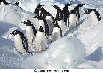 csoport, közül, gentoo pingvin, álló, közé, a, úszó jégtáblák, képben látható, egy, havas, tengerpart, képben látható, egy, napos, tél, nap