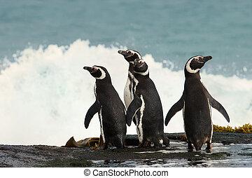 csoport, közül, magellanic, pingvin, álló, képben látható, egy, tengerpart