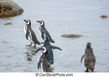 csoport, közül, pingvin, part, alatt, chile