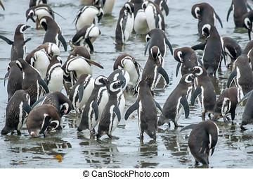 csoport, közül, pingvin, part