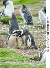 csoport, közül, pingvin