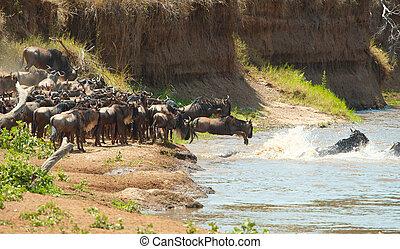 csorda, közül, blue wildebeest, (connochaetes, taurinus)
