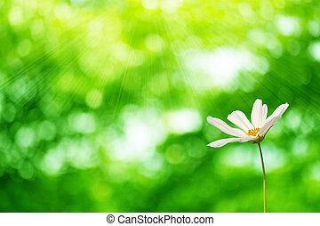 C.sulphureus Cav. or Sulfur Cosmos, flower bokeh green...