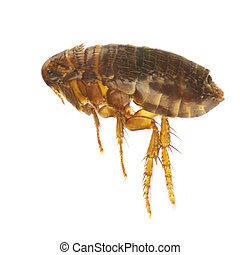 Ctenocephalides felis, cat flea or flea, isolated on a white...
