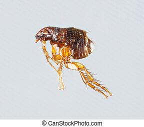 Ctenocephalides felis - Close up female ctenocephalides...