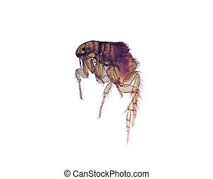(ctenocephalides), microscope-flea