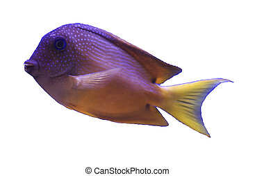 ctenochaetus truncatus, marine fish on white background