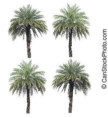 cuatro, árboles de palma, colección, aislado, en, un, fondo blanco, con, ruta de recorte